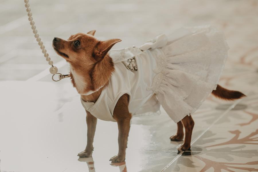 wedding chihuahua